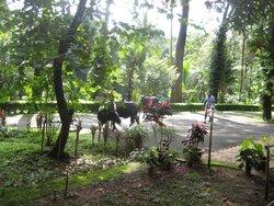 Dewalokam cows