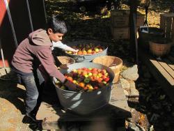 washing apples for cider making