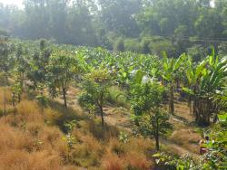 Banana Plantation in Resort