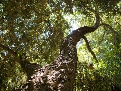 Chêne Liège : un arbre magnifique