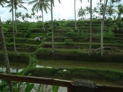 Rice terrace from balcony