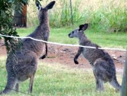 kangaroos right in the front yard!