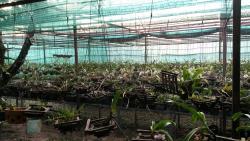 Vientiane Orchidées