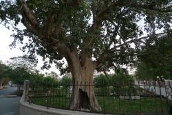 Zaccheus' Tree