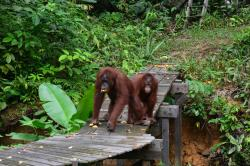 The Great Orangutan Project