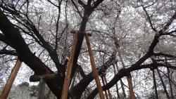 Ishitokaba Sakura