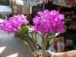 Kawamoto Orchid Nursery