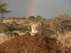 Lion of Tarangire