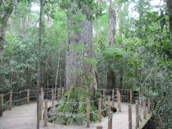 Tsitsikamma Forest's Big Tree