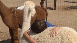 Humming Desert Alpacas