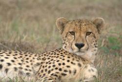 Cheetah seen on Djuma