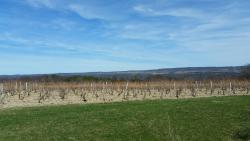 Shaw Vineyard