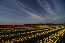 The glorious field of tulips