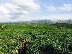 Moc Suong Tea Hill