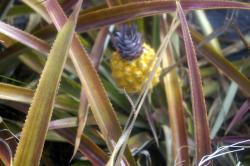 La Maison de l'Ananas