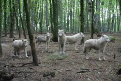 Loups de Chabrières