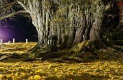 Godo's Big Ginkgo Biloba Tree