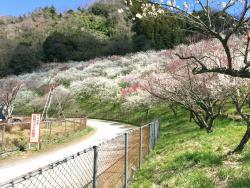 Kogezawa Plum Grove