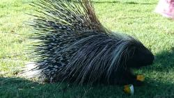 Sonic the Porcupine @ Eagle Encounters
