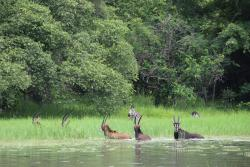 zebra and sable cooling off in the water