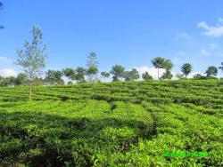 Tanjung Sari Tea Garden