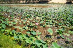 Lotus Lake