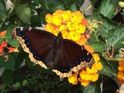 Butterflies of Cape Cod
