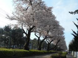 Higashihara Cherry Blossom Trees