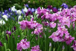Yokosuka City Iris Flower Garden