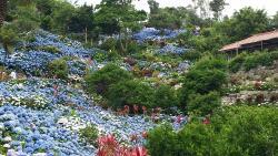 Yohena Ajisai Park