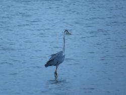 Our stay in Aug 2013 - Grey heron