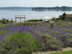Purple Scent Lavender Farm