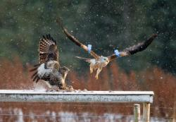 Tollie Red Kites