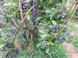Mountainview Blueberry Farm