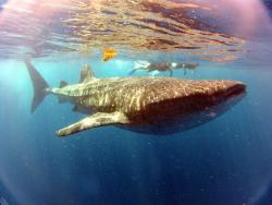 Whale Shark Experience by Cancun Adventures