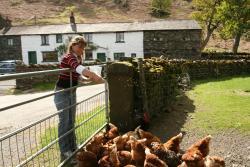 Hen Feeding at Mosedale End Farm B+B