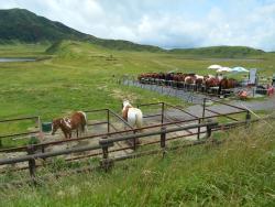 草千里は馬がのどかに歩いています(観光用)