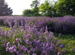 Weir's Lane Lavender and Apiary