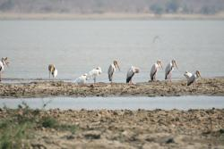 Yellow-billed Storks and African Spoonbill from the hut
