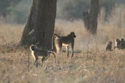 Baboons on a game walk