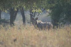 Kudu on a game walk