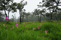 Kra Jiao Flower Field