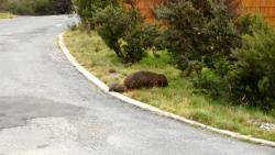 Wombat and offspring near our cabin