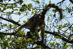 Lémurien de dos