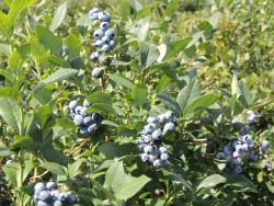 Parks Blueberries