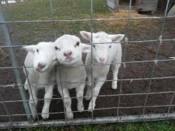 Lambs at Hatcher's Manor