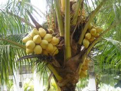 Coconut tree- a popular tree of the island