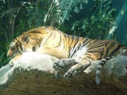 The cool indoor tiger exhibit