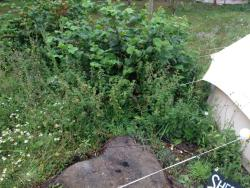 The chest height nettles surrounding the tent and camp site
