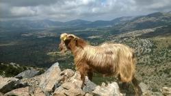 the jeep safari wildlife,tree climbing goats